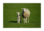 Mother and Lamb Card