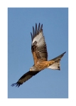 Red Kite Card